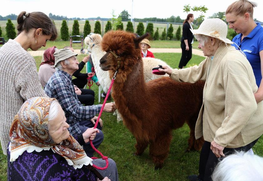 Dla chorych na Alzheimera pensjonariuszy Domu Opieki dla Osób w Podeszłym Wieku kontakt z alpakami to forma terapii