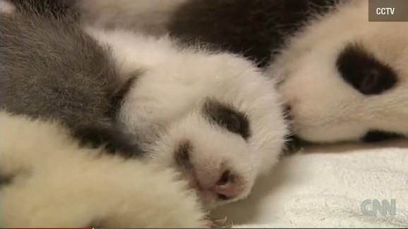 cb23e656161955 Novorođene pande su sićušne i imaju loš vid