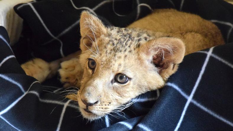 Poznańskie Zoo chce stworzyć azyl dla ocalonych lwów