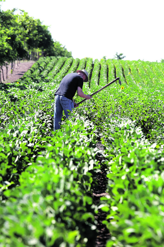 Kilo organskog povrća može biti pet puta skuplje od onog dobijenog konvencionalnom proizvodnjom