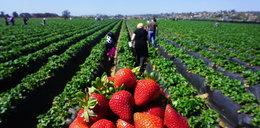 Ile można zarobić zbierając truskawki? Zdziwisz się!