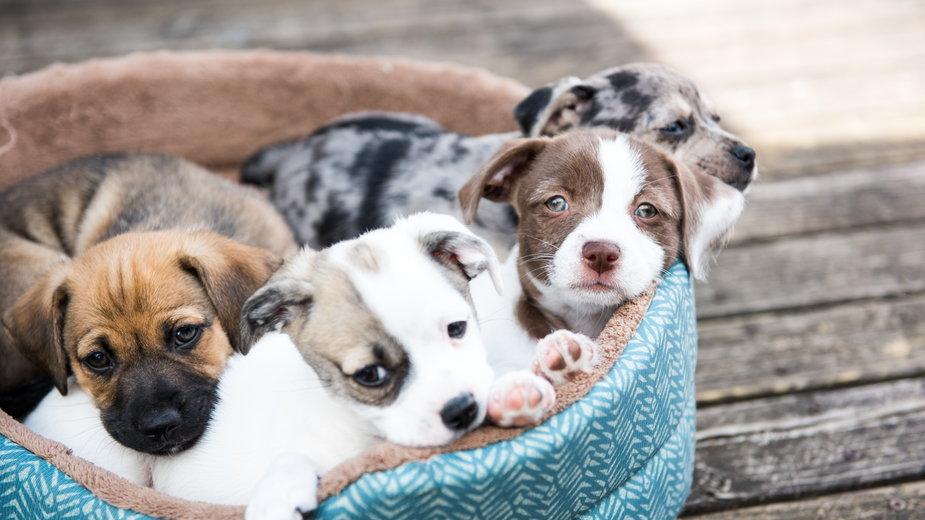 Sprzedawali szczeniaki zakażone koronawirusem (zdjęcie ilustracyjne)
