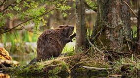Ponad 3 mln zł za szkody wyrządzone przez bobry