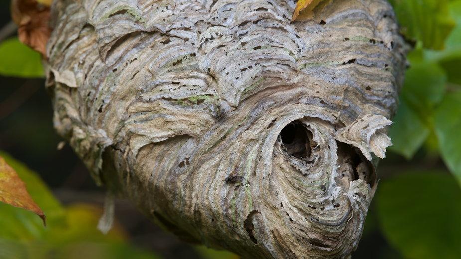 Gniazdo szerszeni można usunąć kilkoma sposobami - agnieszkalll/stock.adobe.com