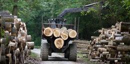 Leśniczy kradł drzewo i został milionerem? Sensacyjne ustalenia