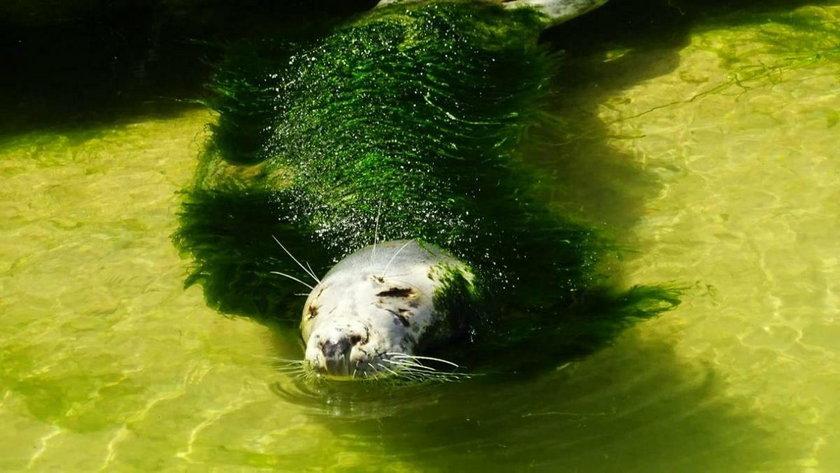 Hiszpania: foka zarośnięta wodorostami w zoo w Santander