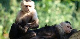 Te małpki są jak ludzie!