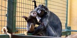 Mała małpka w gdańskim zoo! To lutung jawajski!