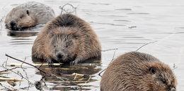 To nie wypadek, to bobry!