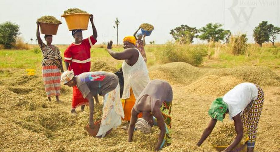 RIFAN says Nigerians now consume local rice worth N1.2 billion daily. [Amiloaded]