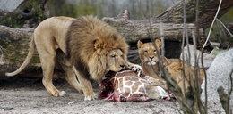W tym zoo zwariowali! Zabijają zdrowe zwierzęta! 18+