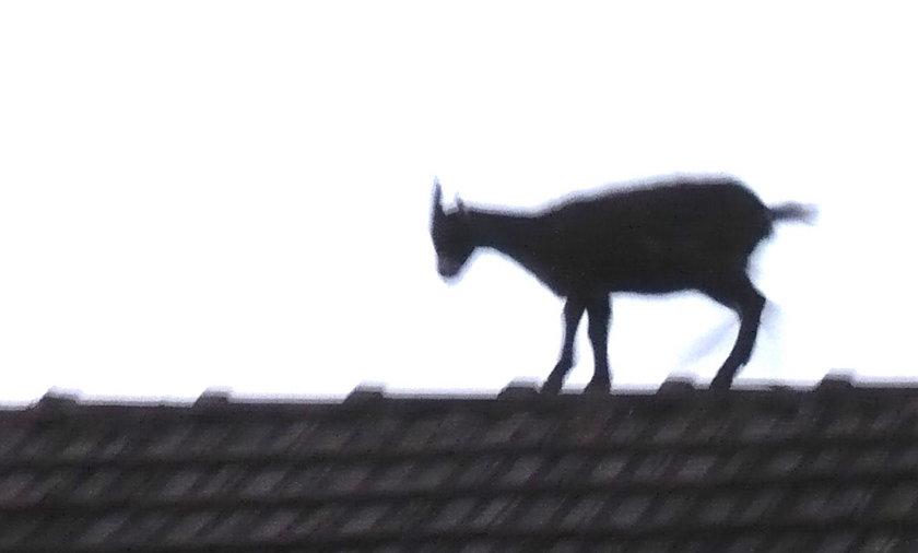 koza na dachu