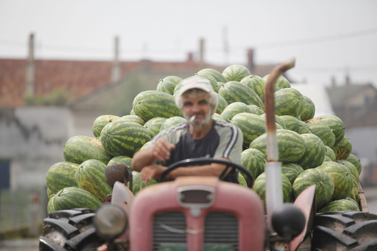 500923_osipaonica-lubenice060814ras-foto-djordje-kojadinovic0091