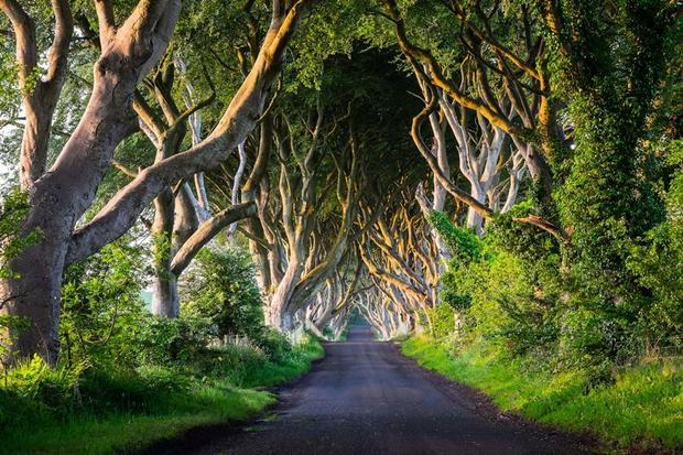 The Dark Hedges, County Antrim, Irlandia Północna