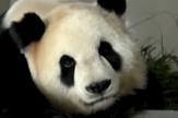 AP_Panda_Porodjaj_vesti_blic_safe