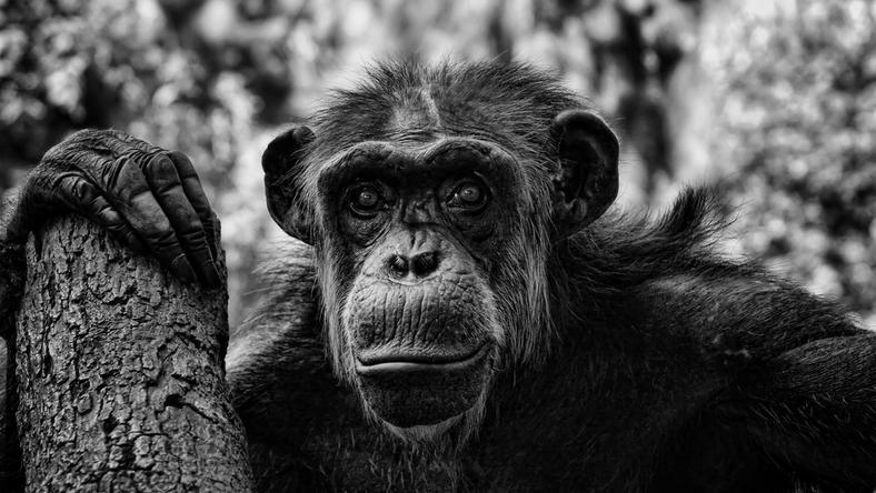 Rosjanin chciał skrzyżować człowieka z małpą