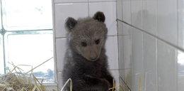 Niedźwiadek sierota z Bieszczad. Jest słodki!