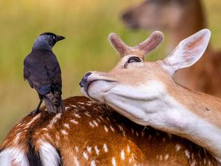 Deer and Jackdaw / Deer and Jackdaw /1531019