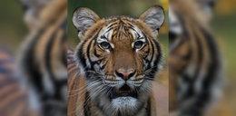 Szok w ZOO. Tygrys zaraził się koronawirusem!
