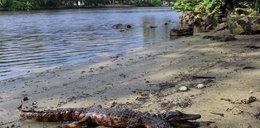 Krokodyl o dwóch głowach