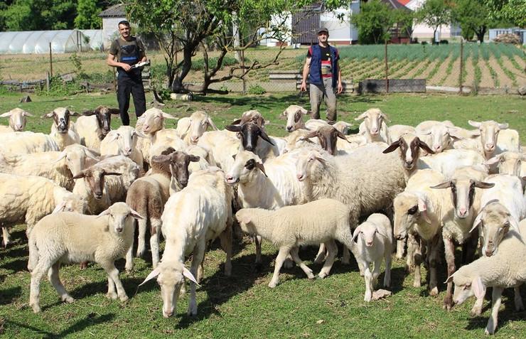 Ovce ošišane Gradiška-foto-Milan-Pilipovic