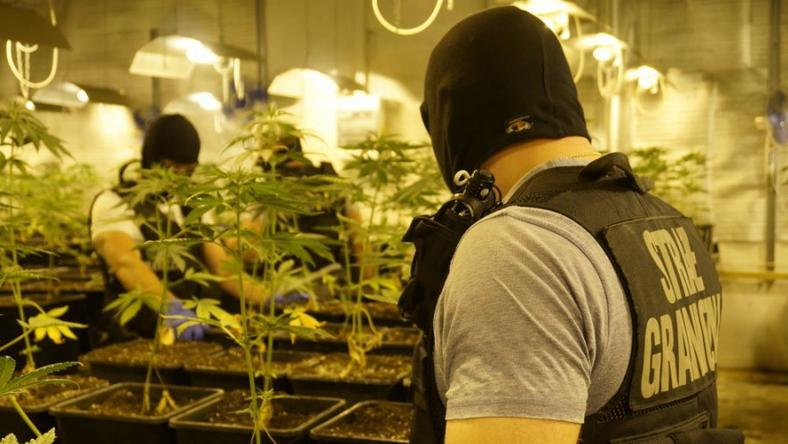 Zlikwidowano jedną z lepiej przygotowanych plantacji marihuany