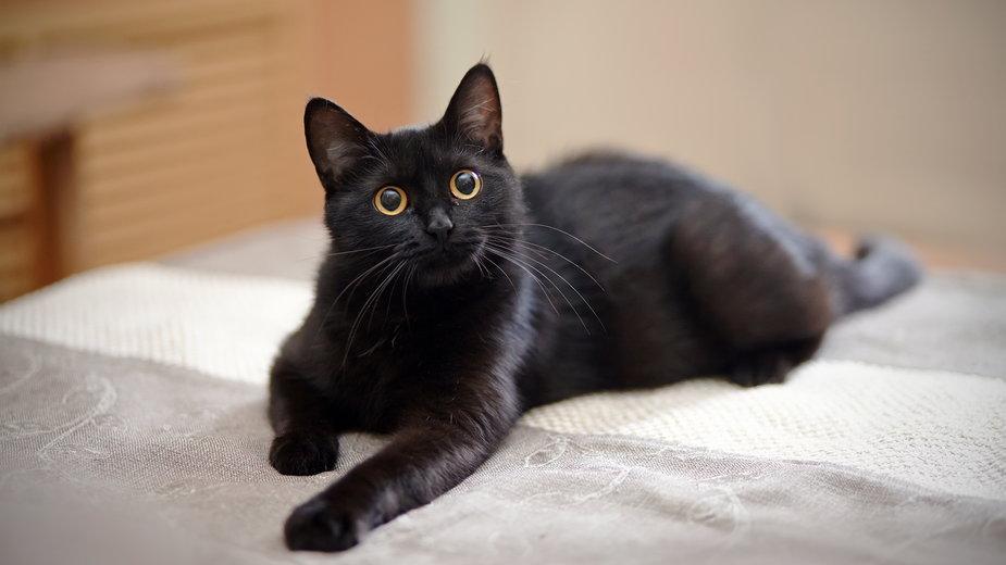 Toksoplazmozą najczęściej można zarazić się od kota - Azaliya (Elya Vatel)/stock.adobe.com