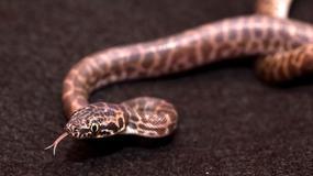 Wąż ukąsił śmiertelnie kobietę w zaawansowanej ciąży