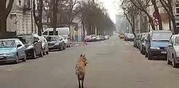 Sensacja! Wilk szarżował na ulicach Łodzi