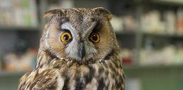 Sowa Hedwiga u lekarza. Co jej dolega?