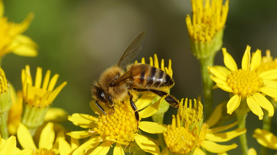 Pszczoły wykrywają koronawirusa