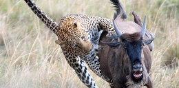 Lampart atakuje antylopę, a potem... dostaje w kość! Galeria FOTO
