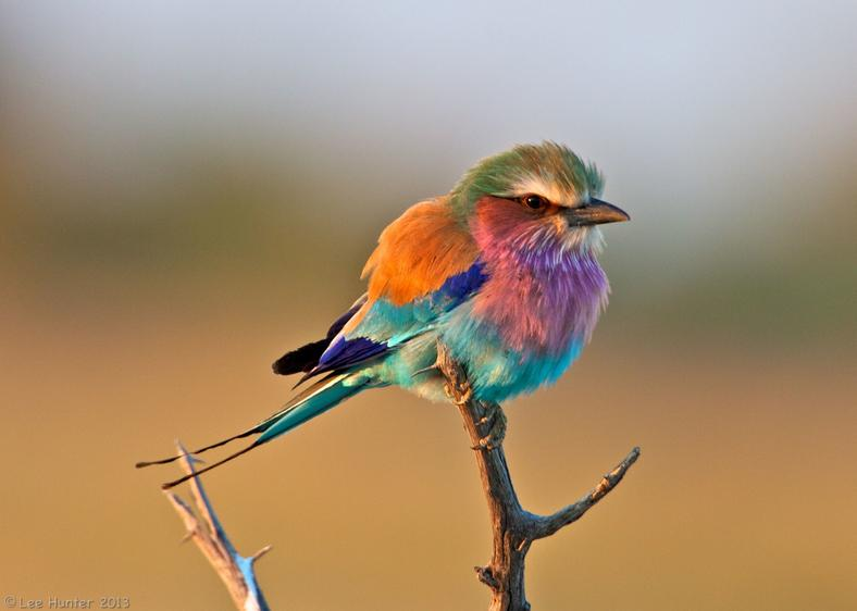 Lilac-Breasted Roller Bird.