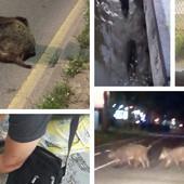 KRALI ŽIVE I MRTVE DIVLJE SVINJE Tokom najezde životinja na centar Beograda dogodile su se NEVEROVATNE STVARI