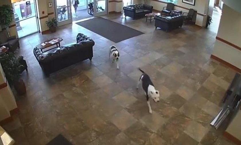 Do szpitala weszły dwa pitbulle