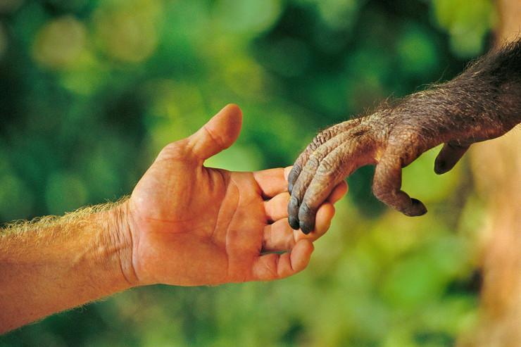 darvin04 orangutan majmun dodir ruke foto profimedia