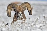 zivotinje01 ovan rogovi foto Wikipedia Alan D Wilson