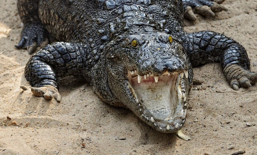 Krokodyl zaatakował jedną z bliźniaczek podczas nocnej kąpieli.