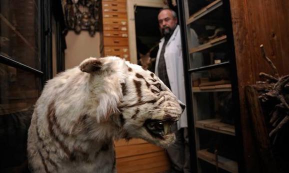 Mesto u muzeju našao je i beli tigar