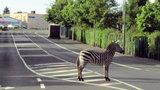 Co ta zebra robi na pasach?!