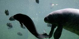 We wrocławskim zoo urodziła się syrena. Małe waży 20 kg!