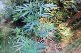 indijska konoplja marihuana bijeljina