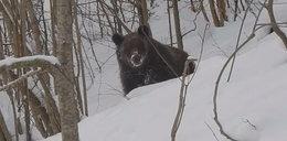 Przyłapali niedźwiedzia na gorącym uczynku
