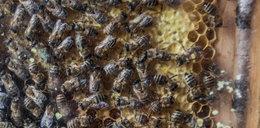 Pszczoły zabiły 70 - latka!