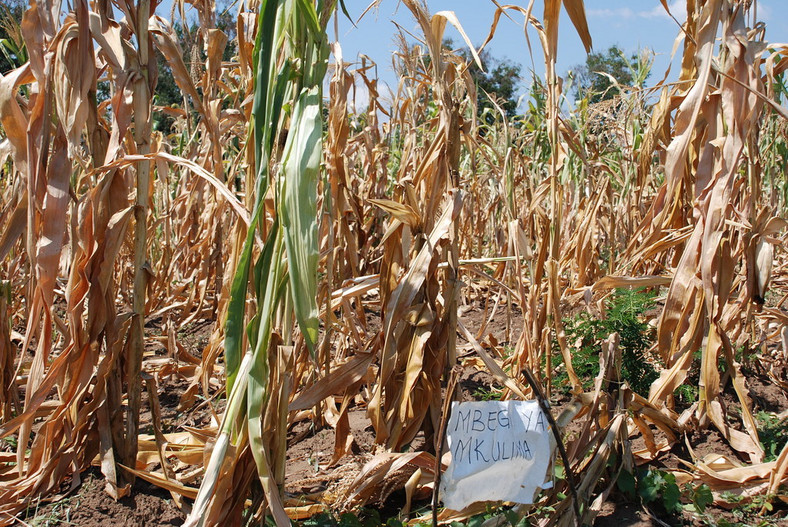 Maize crop affected by drought