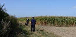 Rabuś ukradł dwa portfele. Ukrył się w polu kukurydzy!