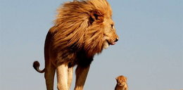 """""""Król Lew"""" w naturze"""