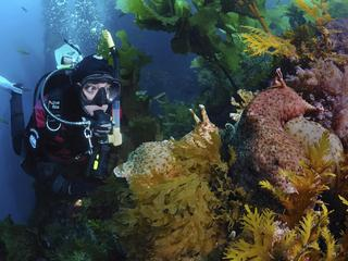 Scuba Diver and Sea Hare, Aplysia californica, Catalina Island, California, USA