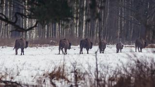 Ruszają prace nad zintegrowanym planem zarządzania Puszczy Białowieskiej