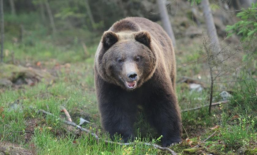 Niedźwiedzie podchodzą do ludzkich siedzib, bo szukają pożywienia. To może być śmiertelnie groźne dla nas, ale i dla nich.